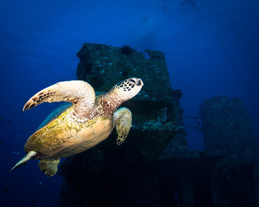 Green Sea Turtle on the Sea Tiger Wreck