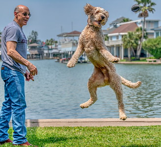 Papa tosses ball for retrieving and Kona leaps with excitement