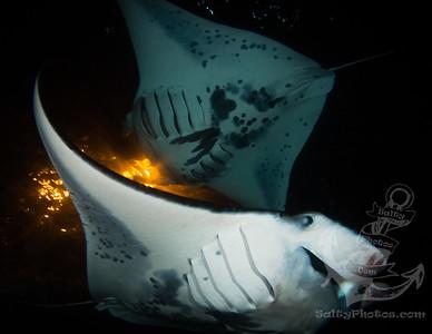 Reef Manta Ray (Manta Alfredi)