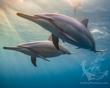 Spinner Dolphin (Stenella Longirostris)