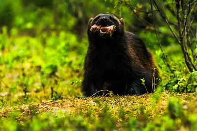Wolverine - Gulo gulo - Ahma