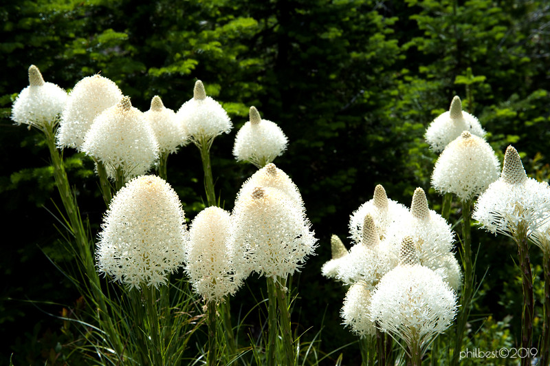 It was a bear grass extravaganza day!
