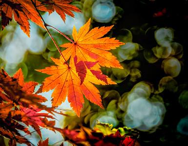 2016-11-08_Biwon_2MapleLeavess_AHDR1498-