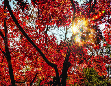 2016-11-08_Biwon_Sunburst_Maple_Leaves_AHDR1724-