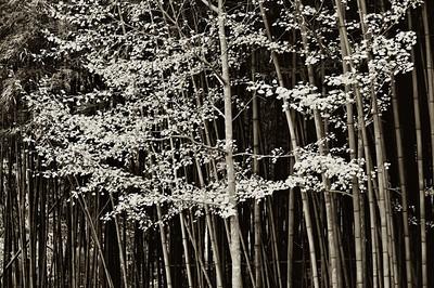 2010-11-13_Damyang-6312Sosweiwon_YellowTree_and_Bamboo--mono