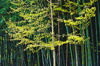 2010-11-13_Damyang-6312Sosweiwon_YellowTree_and_Bamboo