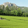 Tea Fields in Southern South Korea