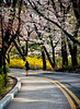2013-04-21_Seoul_Namsan_SpringBlossoms_CurvedRoadGirl-8008