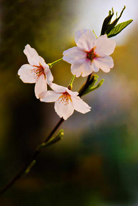 Cherry blossoms of Samchong-dong, Jongro-gu, Seoul, April 2007