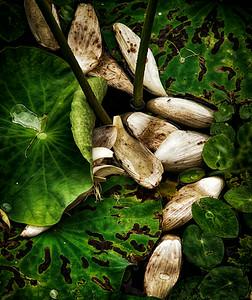 2014-08-07_Naksan-sa_Lotus_Petals_HDR-2635-