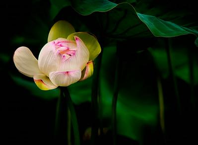 2014-08-07_Naksansa_Lotus_HDR-2623-