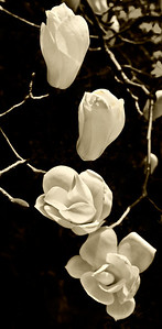 Four-White-Blossoms-mono