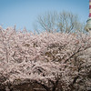 Cherry Blossom in bloom