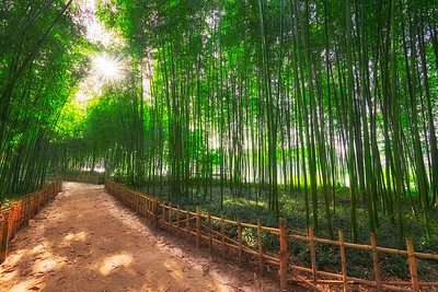 Bamboo Forest in Jinju