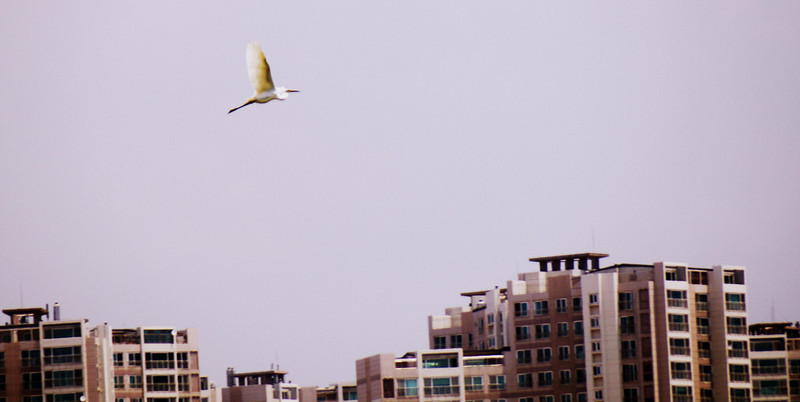A Korean crane in flight nearby my apartment in Korea