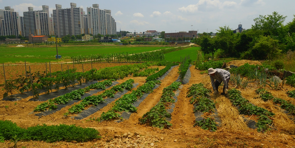 A farmer nearby a rice field that overlooks my high rise apartment in Korea
