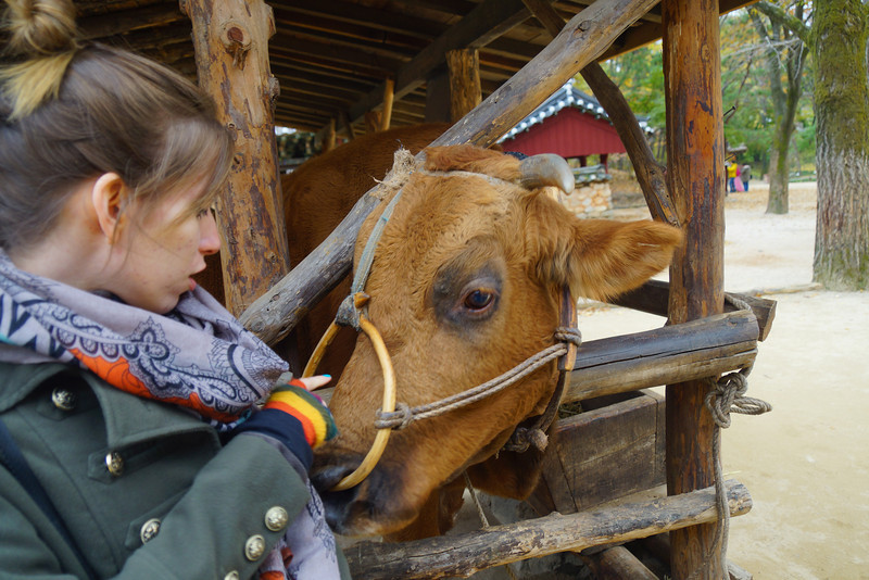Audrey with the cow at the Korean Folk Village in Yongin, Korea