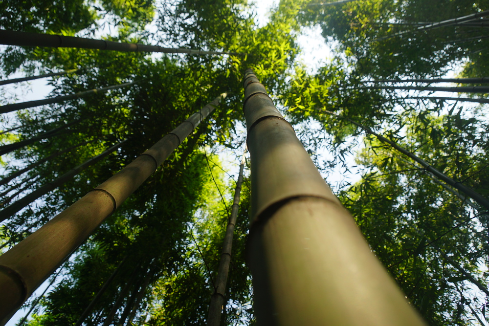 Looking up at the Bamboo trees in Damyang Forest, Korea