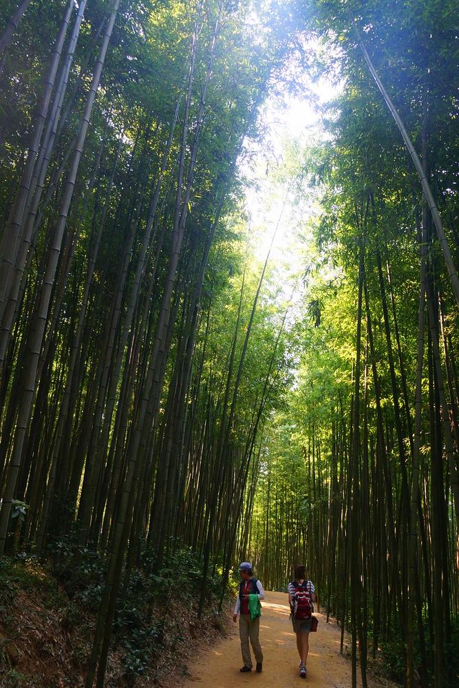 Sun light shining through the Damyang Bamboo Forest