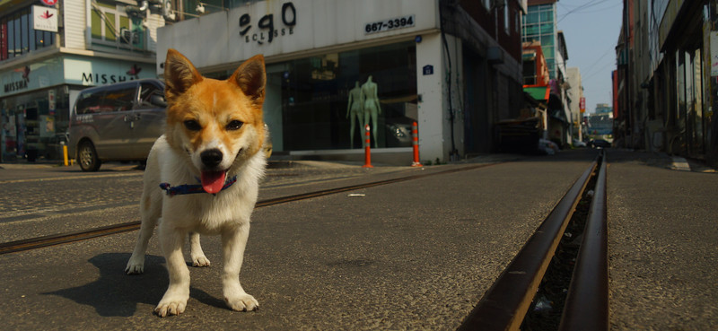 This is a candid travel photo of a cute dog greeting us randomly on the streets of Songtan, Korea during our visit to some foreign restaurants in the area.