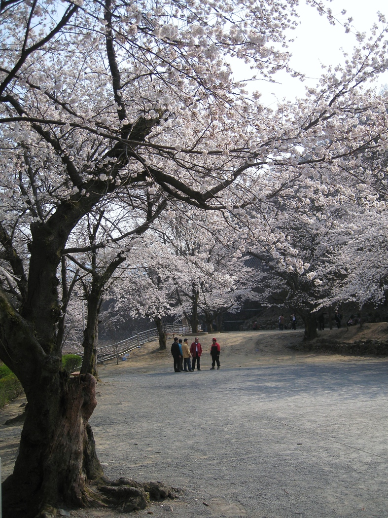 A peaceful and quite afternoon strolling outside of the city and taking in the beauty of the cherry blossom trees - Daejeon, South Korea.  This is a travel photo from Daejeon, South Korea.