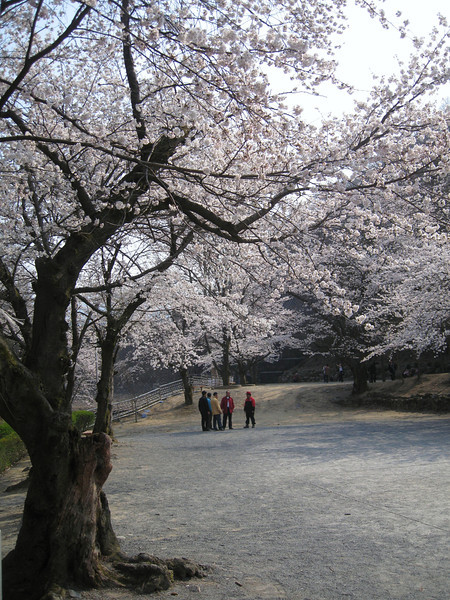 "A peaceful and quite afternoon strolling outside of the city and taking in the beauty of the cherry blossom trees - Daejeon, South Korea.  This is a travel photo from Daejeon, South Korea. <a href=""http://nomadicsamuel.com"">http://nomadicsamuel.com</a>"