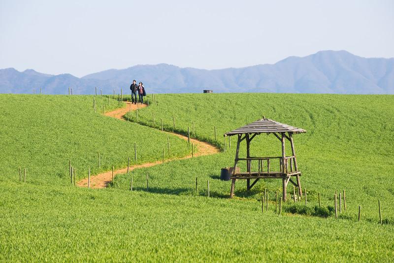 Gochang Green Barley Field