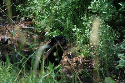 Rottweiler photos