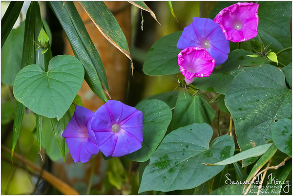 Oceanblue morning glory (Ipomoea indica)