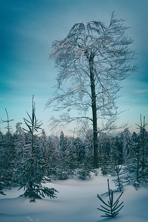 black forest trees