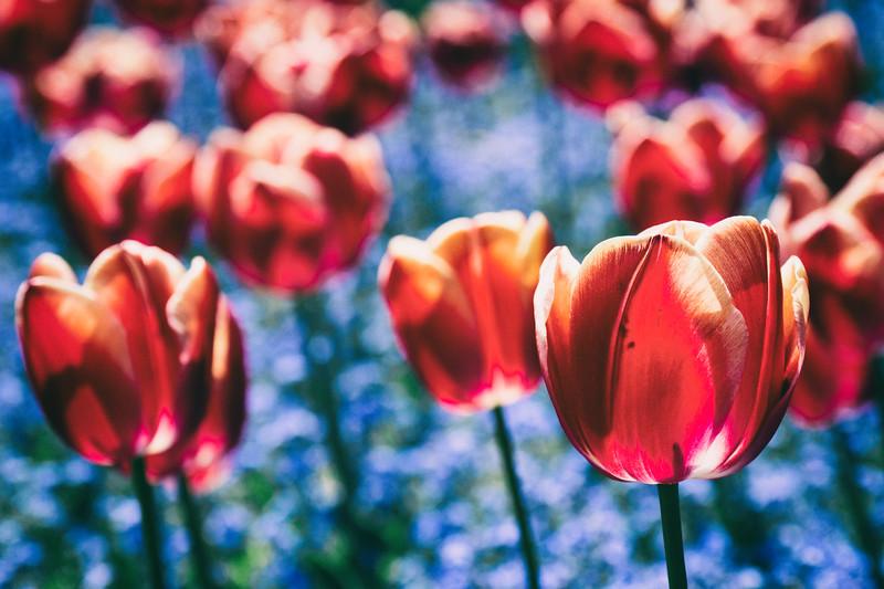 tulip porn