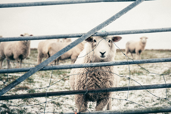 Baa! What you looking at! 1