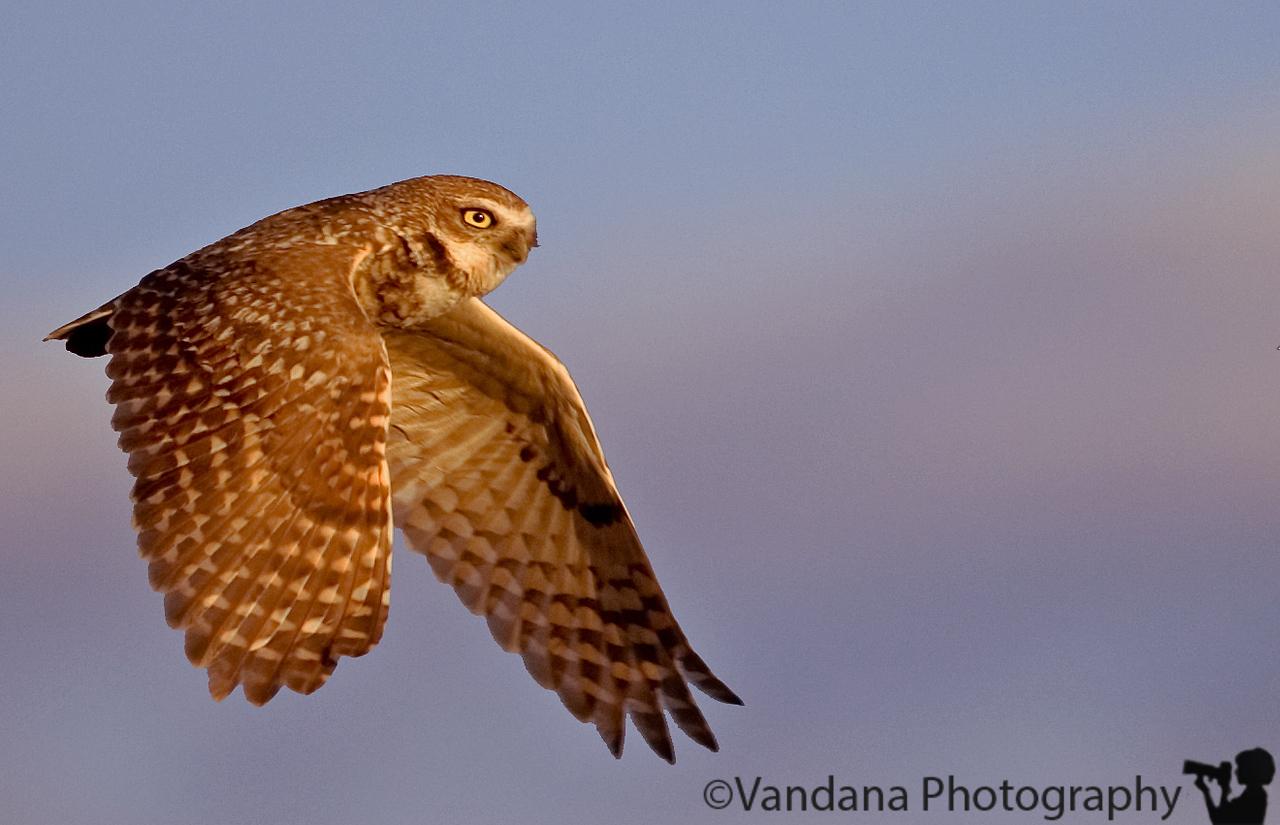 burrowing owl in flight, taken by K at Ned Houk Park, Clovis, NM