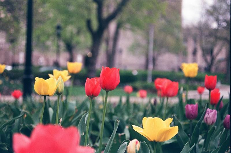 Tulips on Campus - Kristen Lucero Photography