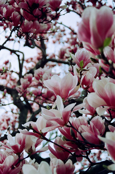 Magnolia Blooms - Kristen Lucero Photography