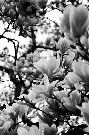Magnolia Blooms Black & White - Kristen Lucero Photography