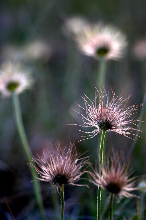 IMG_2903 pasque seed heads