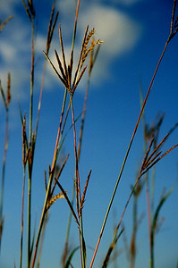 Big Bluestem blue sky larger