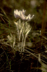 Pasque Flower dark larger