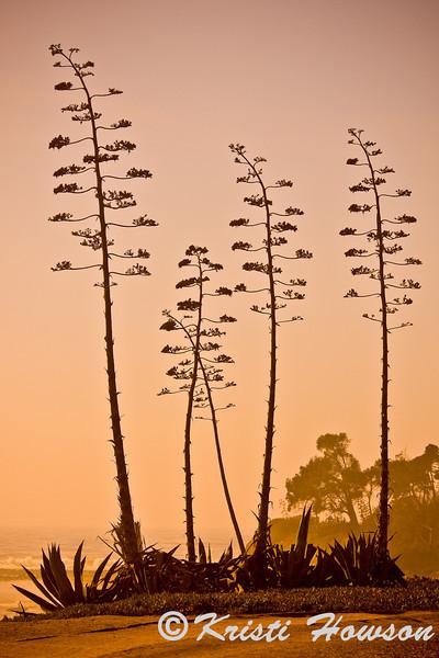 Century Plant<br /> Isle Vista, CA