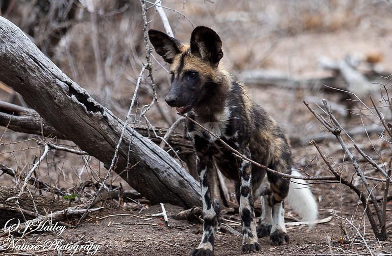 Wild Dog, Lycaon pictus