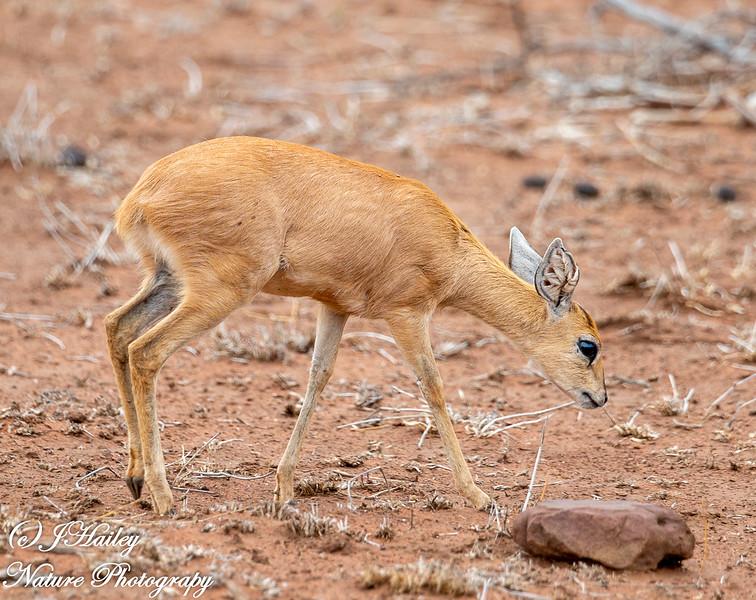 Steenbok, Raphicerus campestris