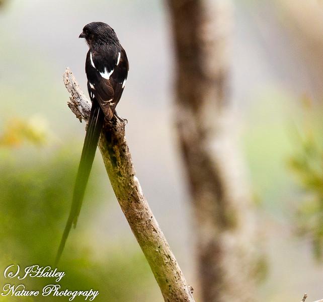 Magpie Shrike, Corvinella melancoleuca