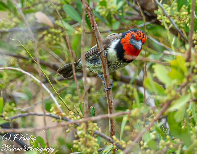 Black-collared Barbet, Lybius torquantus