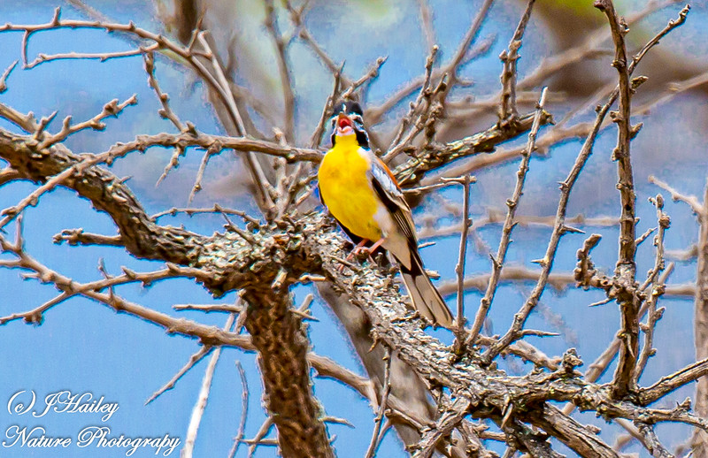Golden-breasted Bunting, Emberiza flaviventris