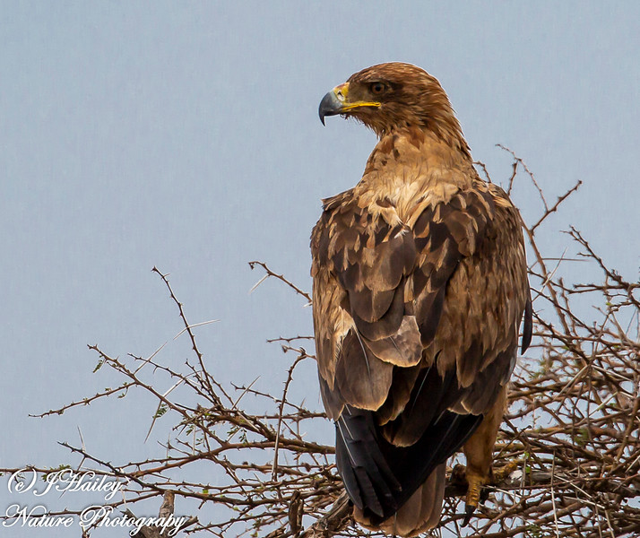 Wahlberg's Eagle, Aquila wahlbergi