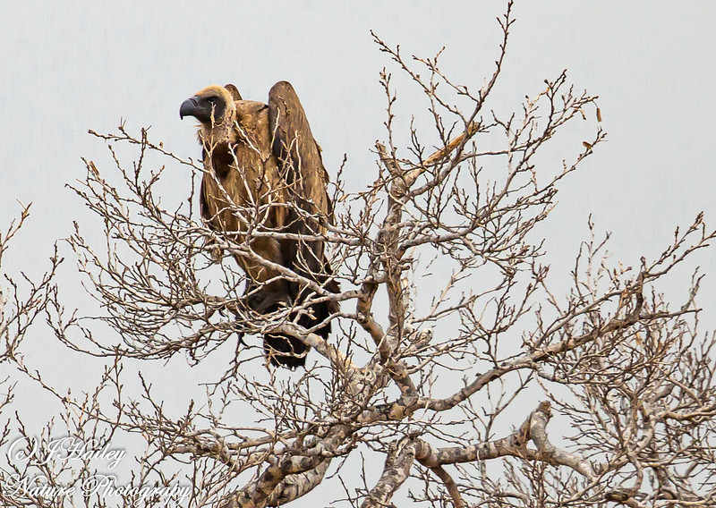 White-backed Vulture, Gyps africanus