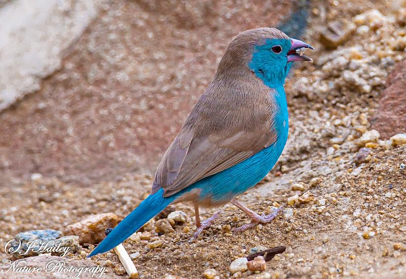 Blue Waxbill, Uraeginthus angolensis