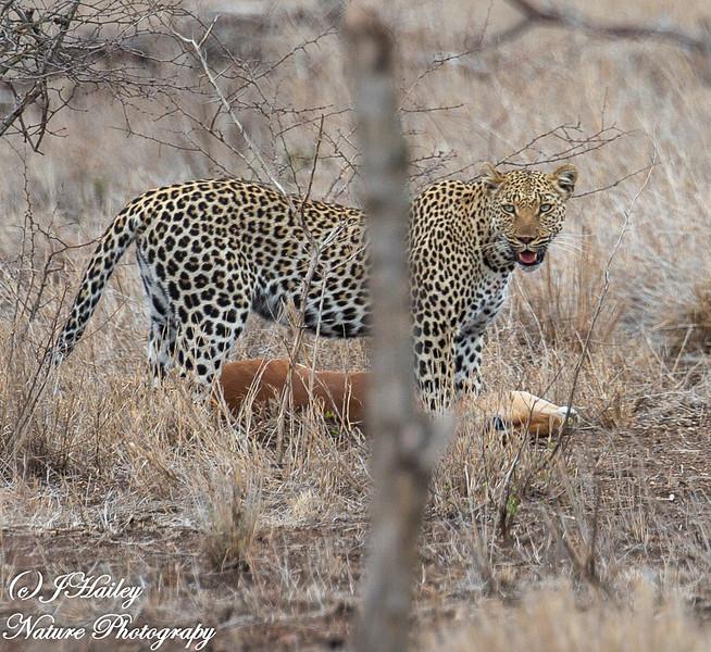 Leopard, Panthera pardus w/kill