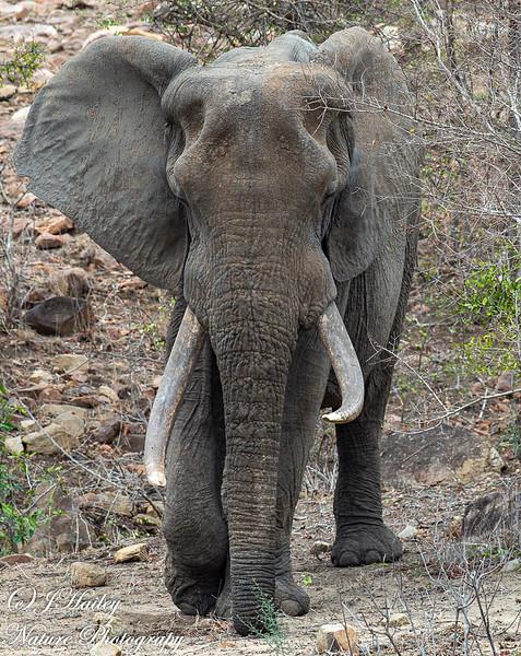 Savanna Elephant, Loxodonata africana africana